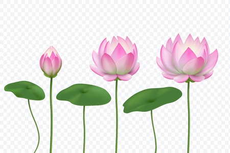 Realistic lotus. Pink water flower. Blooming pink lotus with leaves. Vector isolated set. Lotus flower realistic bloom illustration Illustration