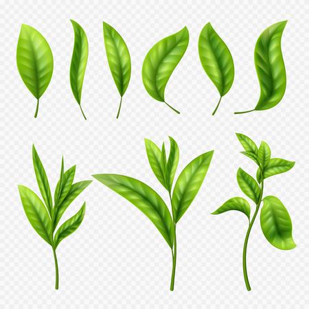 Vector realistic tea leaves on transparent background. Leaves tea leaf, organic ceylon sprout illustration