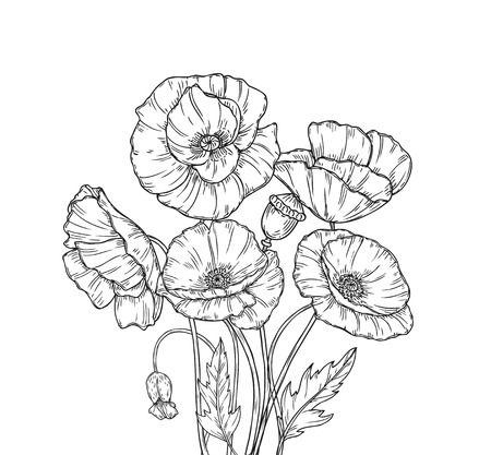 Poppy bouquet. Line art poppies flower sketch drawing wall artwork decorative plant poppy flower bud planting floral vector background. Bouquet of poppy drawing line illustration Vectores