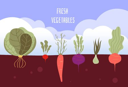 Vegetable garden. Organic and healthy food veggies gardening summer vegetables with roots in soil vector background. Illustration of agriculture soil, healthy food, cabbage and beetroot Ilustrace
