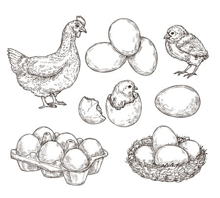 Chicken sketch. Healthy natural farm eggs. Vintage hand drawn hen bird, little chick nest. Isolated rustic products vector illustration. Hen and nest, egg farm and chicken