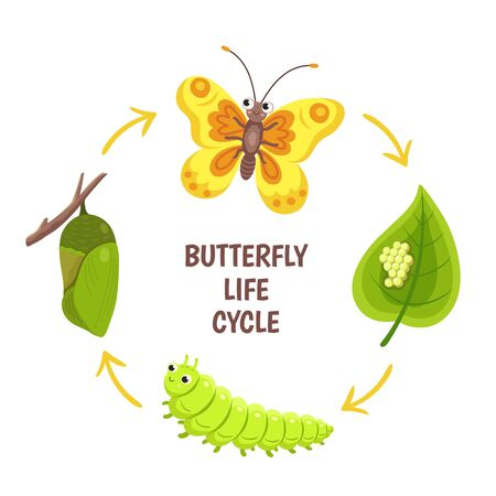 Butterfly life cycle. Insect emergence, transformation or metamorphosis. Caterpillar development stages. Biology cycle vector illustration. Insect and butterfly, larva and pupa development