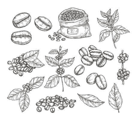 Coffee plants sketch. Vintage black beans, tasty arabica robusta grains. Isolated hand drawn branch and leaf, cafe cafeteria vector elements. Sketch drawing leaf engraving caffeine illustration Vetores