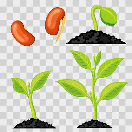 Plant growth stages from seed to sprout isolated on transparent background. Vector illustration