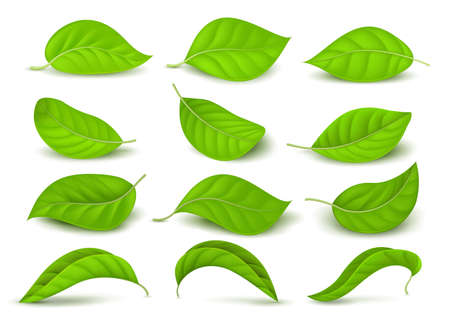 Realistic green tea leaves with water drops isolated on white vector set. Green tea leaf, natural freshness illustration