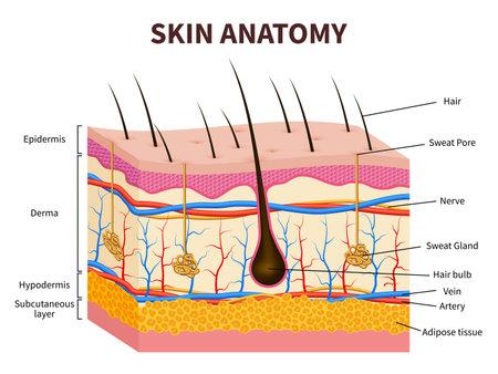Human skin. Layered epidermis with hair follicle, sweat and sebaceous glands. Healthy skin anatomy medical vector illustration. Dermis and epidermis skin, hypodermis Vektorgrafik
