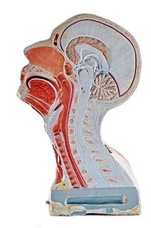 sistema digestivo: Humanos de cabeza  del sistema respiratorio secci�n, aislado en fondo blanco.