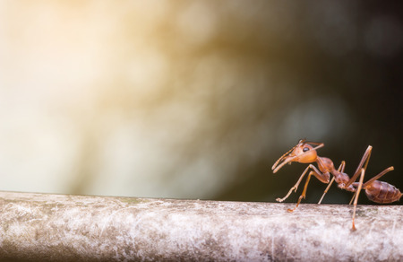 Close up red ant and orange color of sunlight Stock Photo