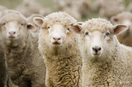 cute sheep: Three sheep within a mob turn to check out the photographer. Stock Photo