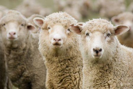 oveja: Tres ovejas dentro de una multitud dan vuelta al cheque fuera del fot�grafo.