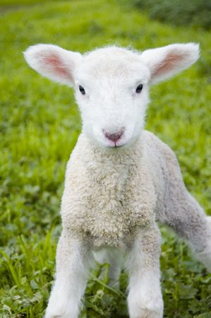 A toy-like lamb, only three days old, looks with inquisitive eyes at the world. Stock Photo
