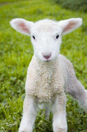 Een speelgoed-achtige lam, slechts drie dagen oud is, kijkt met nieuwsgierige ogen op de wereld. Stockfoto