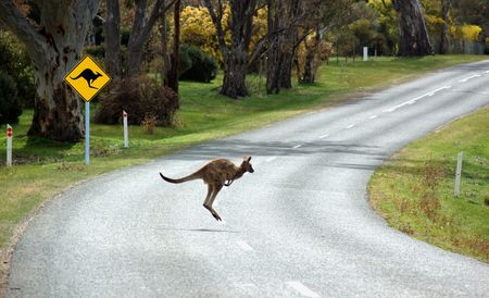 Kangaroo Crossing in front of a Kangaroo Warning Sign Stock Photo - 911040