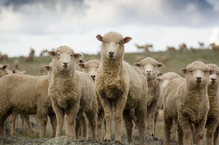 australian shepherd:  A selection of sheep in the mob stand looking curiously at the camera.