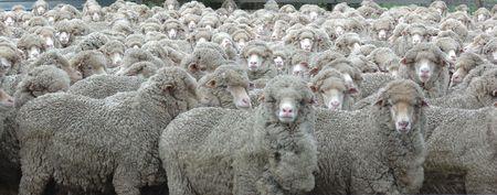 Sheep Looking Stock Photo