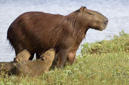 Capibara Feeding her Young
