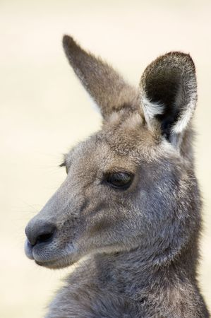 Kangaroo Close-up