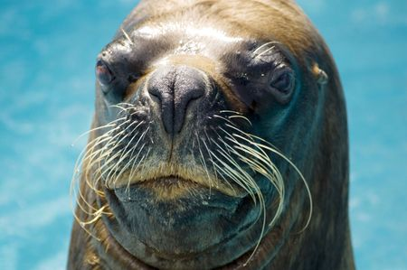 Close-up of a seal looking inquisitive.