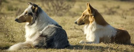 Two collie dogs watching the sunset on a farm Stock Photo