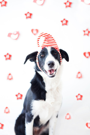 Dog with costume in christmas celebration at home