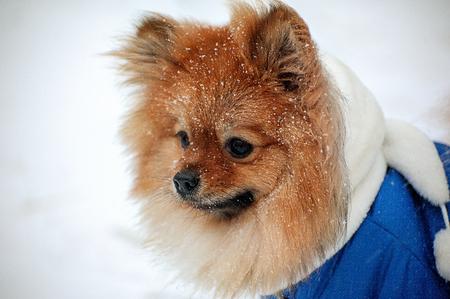 De puppy in de blauwe trui, jurk met witte sjaal heeft een boos zicht op snuit, snuit, snoot, mok in de sneeuwstorm in de winter Stockfoto
