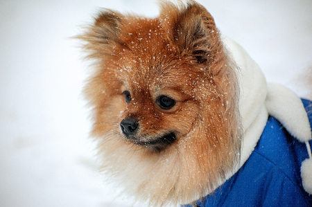 The puppy in the blue sweater,dress with white scarf has an upset view on muzzle, snout, snoot,mug in the snowstorm in winter