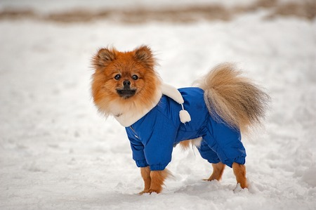 The puppy in the blue sweater,dress is staying and looking to the right with interest in winter with white scarf