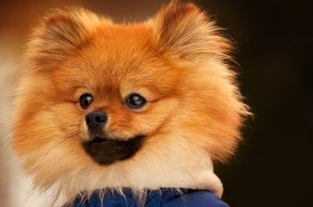 The wisful spitz,dog,puppy is looking into the distance with a serious look. This portarit made in warm colours Stock Photo