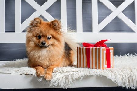 De slimme puppy is tot op het witte plaid in de buurt van het heden voordat New Year