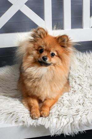 De spits, puppy, hond is tot op het witte plaid met gebogen hoofd en kijk naar je met enige interesse Stockfoto