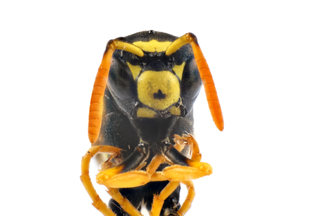 wasp insect macro photo isolated on white background Stok Fotoğraf