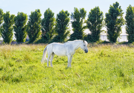 Wild white horse in the meadow