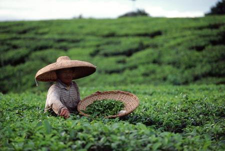 Indonesia, Bandung, tea plantation
