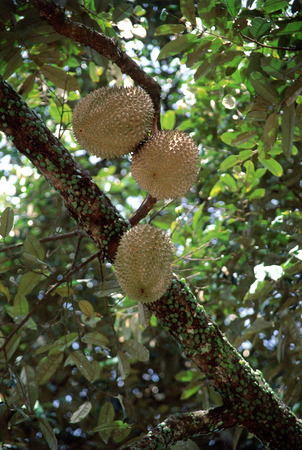 Tree with Durian fruit