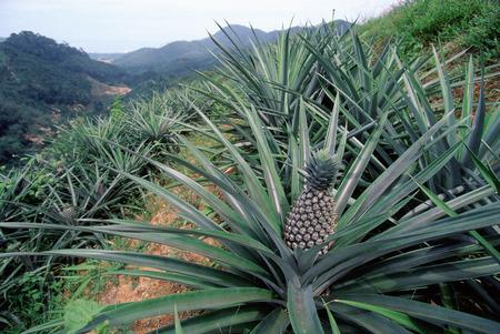Malaysia, Penang, Pineapple plantation