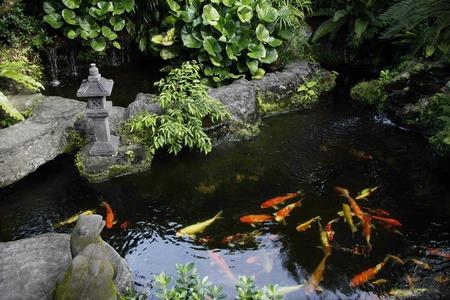 koi: Koi fish in pond LANG_EVOIMAGES