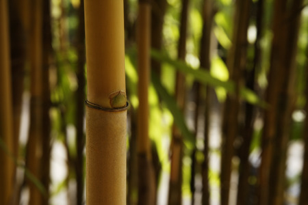 brown bamboo shoot in foreground 版權商用圖片