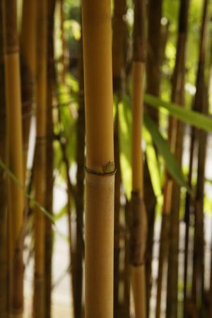 brown bamboo shoot