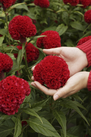 coxcomb: coxcomb flower cupped in womans hands