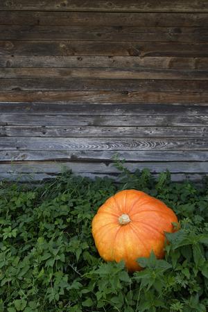 Pumpkin lying in pumpkin patch