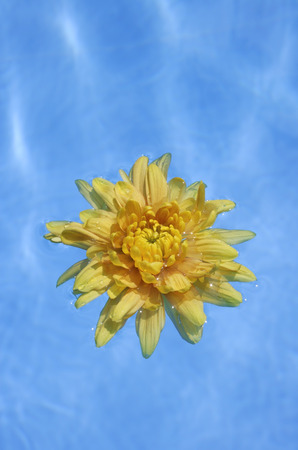 yellow flower floating in pool Stock Photo
