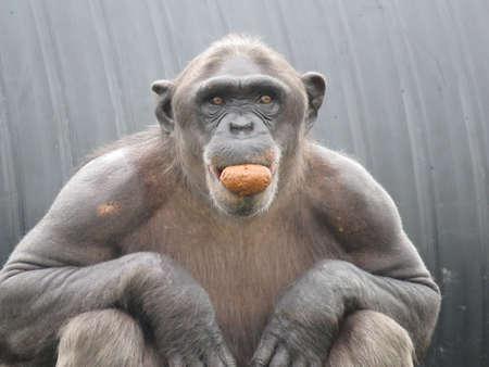 Closeup Chimpanzee Sitting down and Eating Fruit short hair