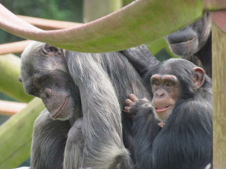 Group of Chimpanzees on play equipment mother father and baby chimp
