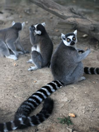 africa safari: Africa Safari - Ring-Tailed Lemur Stock Photo