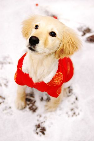 Golden Retriever Dog with Traditional Red Chinese New Year Clothing photo