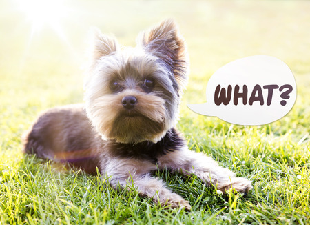 Yorkshire terrier sitting on the grass, with curious look, speach bubble, talking