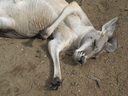 siesta: kangaroo sleeping Stock Photo