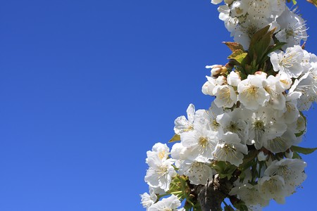 revitalize: cherry blossoms in spring