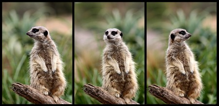 Collage of 3 images of a meerkat standing guard on a log