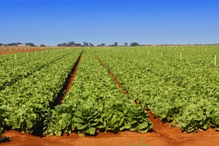 Field of lettuce neatly cultivated in rows in a rich reddish soil